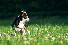 Маленький чихуахуа на траве Стоковые Фотографии RF