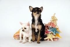 Маленький чихуахуа щенка при мама стоя около игрушки стоковые изображения