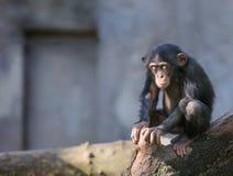 Маленький шимпанзе в глубоких мыслях или раздумье Стоковое Изображение RF