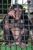 Маленький шимпанзе Стоковые Изображения