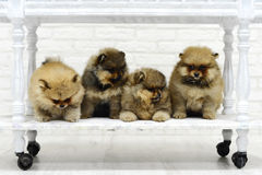 Маленький шпиц щенят играя в студии на белой предпосылке Стоковые Фотографии RF