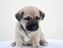 Маленький щенок интересуя камерой Стоковая Фотография RF