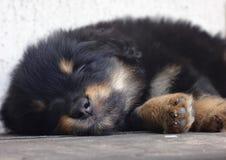 Маленький щенок спит помадка стоковое изображение