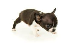 Маленький щенок чихуахуа Стоковые Фото