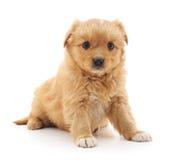 маленький щенок Стоковые Изображения