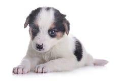 Маленький crossbreed щенка Стоковые Фото