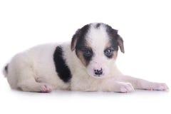 Маленький crossbreed щенка Стоковые Фотографии RF