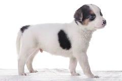 Маленький crossbreed щенка Стоковая Фотография RF