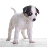 Маленький crossbreed щенка Стоковая Фотография