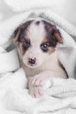 Маленький crossbreed щенка Стоковое Изображение