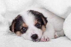 Маленький crossbreed щенка Стоковые Изображения
