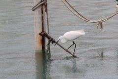 Маленький egret в порте Le Grau-du-Roi, Франции стоковые изображения rf
