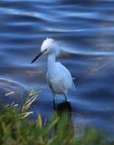 Маленький egret в реке Стоковая Фотография