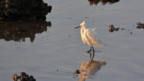Маленький egret на RAMSAR Стоковые Фотографии RF