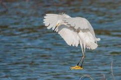 Маленький egret около к земле вдоль взморья Стоковые Изображения