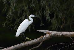 Маленький Egret сидя на ветви Стоковая Фотография