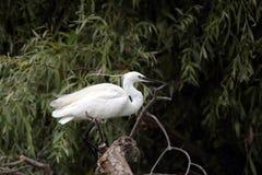 Маленький Egret стоит в дереве Стоковое фото RF