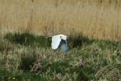 Маленький egret через кровати осоки Стоковое Изображение