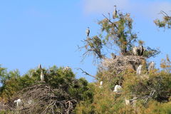 Маленький egret, egrets скотин и серые цапли, Camargue, Франция Стоковое фото RF