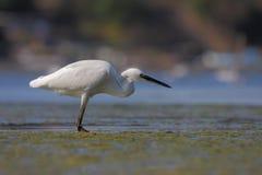 Маленький egret/garzetta Egretta Стоковые Фото