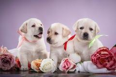 Маленький retriever Лабрадора puppys Стоковые Фото