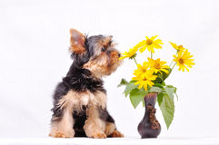маленький terrier yorkshire щенка Стоковые Фото