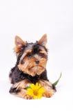 маленький terrier yorkshire щенка Стоковые Изображения RF