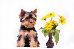 маленький terrier yorkshire щенка Стоковые Изображения
