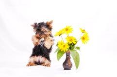 маленький terrier yorkshire щенка Стоковое Фото