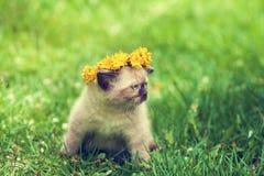 Маленьким увенчанный котенком chaplet одуванчика Стоковые Изображения