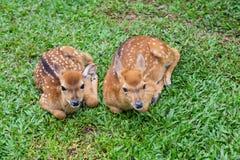 2 маленьких запятнанных оленя Стоковые Фотографии RF