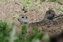2 маленьких земных белки Peeking над краем своего дома Стоковое фото RF