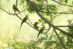 2 маленьких зеленых птицы Пчел-едока садясь на насест на ветви дерева во время Стоковые Изображения