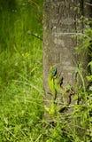 2 маленьких зеленых ящерицы на коре дерева Стоковое фото RF