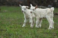 2 маленьких козы на траве жадности Стоковое Фото