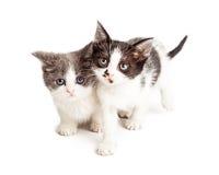 2 маленьких котят изолированного на белизне Стоковое Фото
