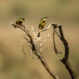 2 маленьких пчел-едока садились на насест на ветви, Serengeti, Танзании Стоковые Фото