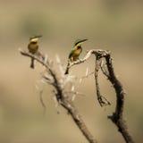 2 маленьких пчел-едока садились на насест на ветви, Serengeti, Танзании Стоковая Фотография RF
