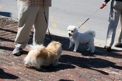 2 маленьких собаки приветствуя один другого S606 Стоковое Изображение RF