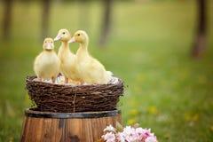 3 маленьких утят в весне паркуют в гнезде Стоковое Изображение RF
