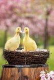 3 маленьких утят в весне паркуют в гнезде Стоковые Фотографии RF
