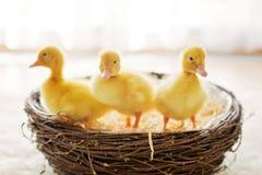 3 маленьких утят в гнезде, изображении Стоковая Фотография