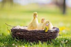 3 маленьких утят в гнезде, outdoors отображают в парке Стоковые Фото