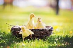 3 маленьких утят в гнезде, outdoors отображают в парке Стоковое Изображение