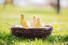 3 маленьких утят в гнезде, outdoors отображают в парке Стоковая Фотография RF