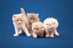 4 маленьких шотландских чистоплеменных котят Стоковое Фото