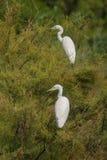 2 маленьких Egrets садясь на насест на дереве Стоковое Изображение RF