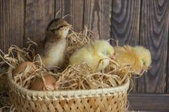 3 маленьких newborn цыплят Стоковые Фотографии RF
