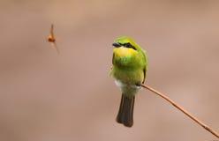 Маленькое зеленое звероловство едока пчелы Стоковые Фотографии RF