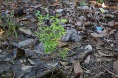Маленькое dulce Pithecellobium Стоковые Фотографии RF